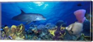 Bottle-Nosed dolphin (Tursiops truncatus) and Gray angelfish (Pomacanthus arcuatus) on coral reef in the sea Fine-Art Print