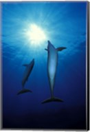Bottle-Nosed dolphins (Tursiops truncatus) in the sea Fine-Art Print