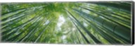 Low angle view of bamboo trees, Hokokuji Temple, Kamakura, Kanagawa Prefecture, Kanto Region, Honshu, Japan Fine-Art Print