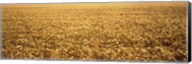 Panorama of amber waves of grain, wheat field in Provence-Alpes-Cote D'Azur, France Fine-Art Print