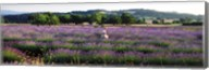 Woman walking with basket through a field of lavender in Provence, France Fine-Art Print