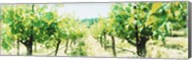 Close up of Vines, Napa Valley, California Fine-Art Print