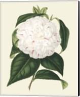 Antique Camellia I Fine-Art Print