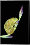 Close-up of a chameleon sitting on a flower, Tanzania Fine-Art Print