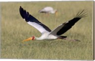 Yellow-billed stork flying above a field Fine-Art Print