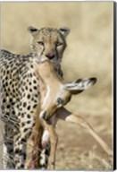 Close-up of a cheetah carrying its kill Fine-Art Print