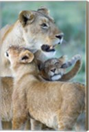 Close-up of a lioness and her two cubs, Ngorongoro Crater, Ngorongoro Conservation Area, Tanzania (Panthera leo) Fine-Art Print