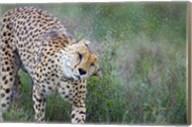 Cheetah shaking off water from its body, Ngorongoro Conservation Area, Tanzania (Acinonyx jubatus) Fine-Art Print