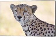 Close-up of a cheetah, Ngorongoro Conservation Area, Arusha Region, Tanzania (Acinonyx jubatus) Fine-Art Print