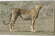 Side profile of a cheetah, Ngorongoro Conservation Area, Arusha Region, Tanzania (Acinonyx jubatus) Fine-Art Print