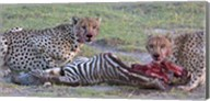 Portrait of two cheetahs eating a zebra, Ngorongoro Conservation Area, Arusha Region, Tanzania (Acinonyx jubatus) Fine-Art Print