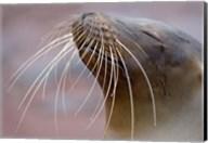 Close-up of a Galapagos Sea Lion, Galapagos Islands, Ecuador Fine-Art Print