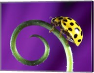 Side view close up of yellow ladybug sitting on a green curlicue shaped leaf Fine-Art Print