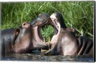 Two hippopotamuses (Hippopotamus amphibius) fighting in water, Ngorongoro Crater, Ngorongoro, Tanzania Fine-Art Print