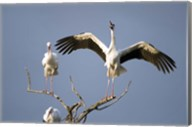 Three White storks (Ciconia ciconia) perching on branches, Tarangire National Park, Tanzania Fine-Art Print