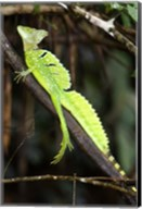 Close-up of a Plumed basilisk (Basiliscus plumifrons), Costa Rica Fine-Art Print
