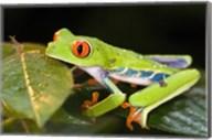 Red-Eyed Tree frog (Agalychnis callidryas) on leaves Fine-Art Print