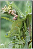 Close-up of a Dwarf chameleon (Brookesia minima), Ngorongoro Crater, Ngorongoro, Tanzania Fine-Art Print