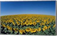 Sunflowers (Helianthus annuus) in a field Fine-Art Print