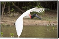 Jabiru Stork (Jabiru mycteria) over Water, Three Brothers River, Meeting of the Waters State Park, Pantanal Wetlands, Brazil Fine-Art Print