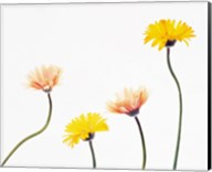 Four Yellow and Pink Daisies on White Background Fine-Art Print