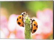 Close Up Of Two Ladybugs Fine-Art Print