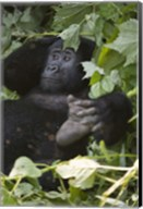 Mountain Gorilla (Gorilla beringei beringei) in a forest, Bwindi Impenetrable National Park, Uganda Fine-Art Print