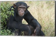 Chimpanzee (Pan troglodytes) in a forest, Kibale National Park, Uganda Fine-Art Print
