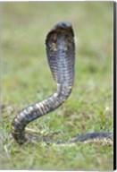 Egyptian cobra rearing up, Lake Victoria, Uganda Fine-Art Print