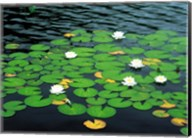 Lily pads with water lily Fine-Art Print