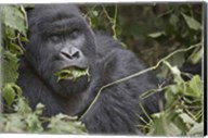 Close-up of a Mountain gorilla (Gorilla beringei beringei) eating leaf, Rwanda Fine-Art Print
