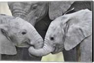 African elephant calves (Loxodonta africana) holding trunks, Tanzania Fine-Art Print