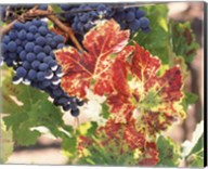Grapes on the Vine, Wine Country, California Fine-Art Print