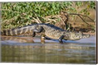 Yacare caiman at riverbank, Three Brothers River, Meeting of the Waters State Park, Pantanal Wetlands, Brazil Fine-Art Print