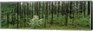 Flowering Dogwood (Cornus florida) trees in a forest, Alabama, USA Fine-Art Print