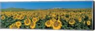 Sunflower field Andalucia Spain Fine-Art Print
