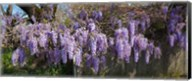 Wisteria flowers in bloom, Sonoma, California, USA Fine-Art Print