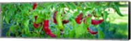 Santa Fe Grande Hot Peppers on bush Fine-Art Print