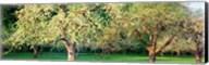 Apple orchard, Quebec, Canada Fine-Art Print