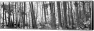 Aspen tree trunks in black and white, Colorado, USA Fine-Art Print