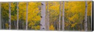 Aspen trees in Telluride, Colorado Fine-Art Print