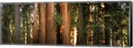 Redwood trees in a forest, Sequoia National Park, California, USA Fine-Art Print