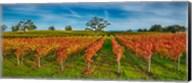 Autumn vineyard at Napa Valley, California, USA Fine-Art Print