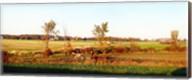 Amish farmer plowing a field, USA Fine-Art Print