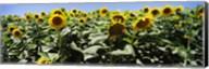 Sunflower field, California, USA Fine-Art Print
