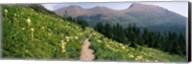 Hiking trail with Beargrass (Xerophyllum tenax) at US Glacier National Park, Montana Fine-Art Print