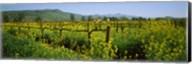 Wild mustard in a vineyard, Napa Valley, California Fine-Art Print