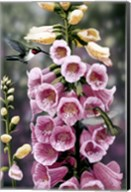 Hummingbirds - Foxgloves Fine-Art Print