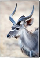 Greater Kudu (Tragelaphus strepsiceros) in a forest, Samburu National Park, Rift Valley Province, Kenya Fine-Art Print