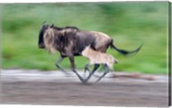 Newborn wildebeest calf running with its mother, Ndutu, Ngorongoro, Tanzania Fine-Art Print